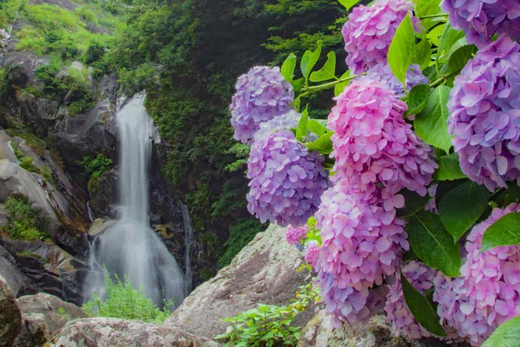紫陽花と見帰りの滝_佐賀県